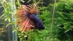 Betta Splendens Crown Tail `King`