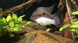 Besatz im Aquarium Meeki Aquarium