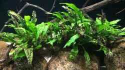 Pflanzen im Aquarium Meeki Aquarium