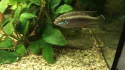 Pelvicachromis sacrimontis RED Mann