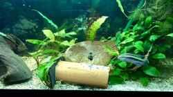 Brut-Vorbereitungen von Pelvicachromis sacrimontis RED