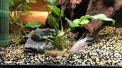 Das Pärchen Pelvicachromis pulcher ALBINO bei der Futtersuche
