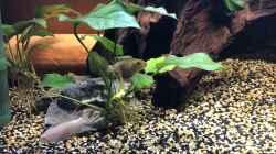 Pelvicachromis pulcher ALBINO
