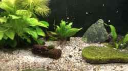 Pflanzen nützen die kleinen Buntbarsche Lamprologus kungweensis gerne, um sich zu
