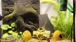 Meine jungen Pelvicachromis sacrimontis RED tummeln sich im Becken... Morgens um