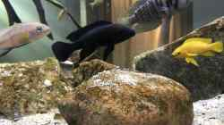 Besatz im Aquarium Tanganjika Raumteiler //1