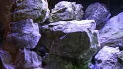 Dekoration im Aquarium Mbunas Traum