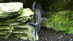 Besatz im Aquarium Mbunas Traum