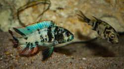 Paralabidochromis chromogynos Zue