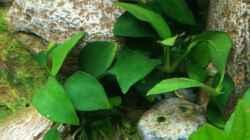 Pflanzen im Aquarium Garnelenbecken