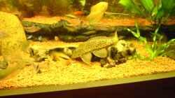 Besatz im Aquarium Aufgelöst