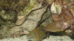 Eretmodus Cyanosticus /Ujiji