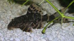 Panaqolus sp. aff. maccus