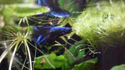 Aquarium einrichten mit Betta splendens (Half Moon)