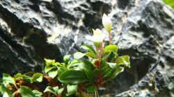 Bucephalandra sp. `Lamandau Mini Red` (In Woche 3 eingesetzt)