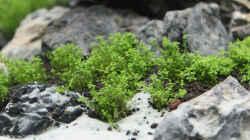 Tag 14 - Hemianthus callitrichoides `Cuba`