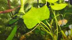Pflanzen im Aquarium mein kleines Asien Becken