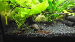 Besatz im Aquarium mein kleines Asien Becken