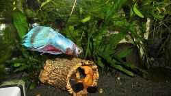 Besatz im Aquarium mein kleines Betta Becken