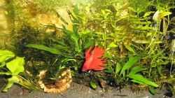 Aquarium mein kleines Betta Becken