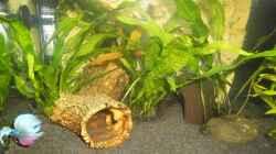 Pflanzen im Aquarium mein kleines Betta Becken