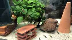 Paralabidochromis chromogynos ZUE ISLAND