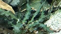Pflanzen im Aquarium Amazonas-Welsbecken