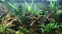 Besatz im Aquarium Amazonas-Welsbecken
