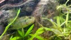 Das erste trachtige Haplochromis Aenecolor Weibchen :) sieht nach viel aus
