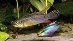 Pelvicachromis taeniatus `Moliwe`,( Kamerun)