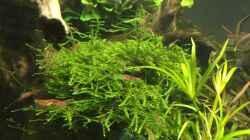 Fissidens fontanus und Taxiphyllum barbieri