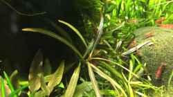 """Hygrophila lancea """"Araguaia"""""""