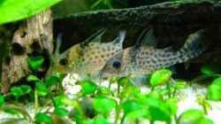 Besatz im Aquarium Südamerika mit Hyphessobrycon columbianus