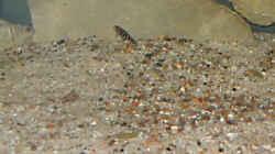 zwei Generationen Julidochromis Nachwuchs