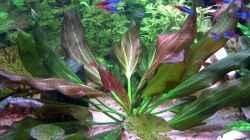 Diese wunderschöne Pflanze heißt Echinodorus barthii