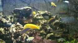 Besatz im Aquarium Malawi ( Nicht mehr in Betrieb)