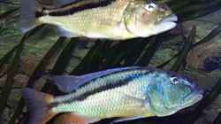 1,1 Aristochromis christy