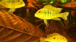 Geophagus spec. `tapajos red head`