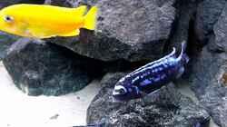 Besatz im Aquarium Bilskirnir