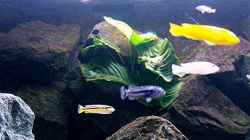 Pflanzen im Aquarium Bilskirnir
