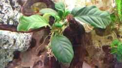 Anubias barteri `coffeefolia`