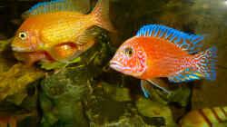 Besatz im Aquarium African sun