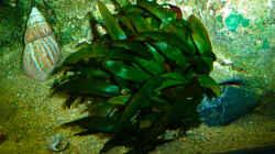 Pflanzen im Aquarium African sun