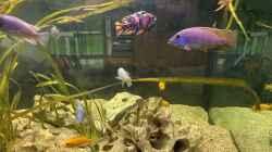 Placidochromis
