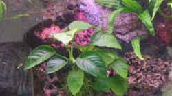 Anubia nana