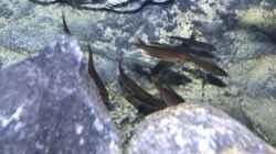 juvenile Cyprichromis microlepidotus `Bulu Point`