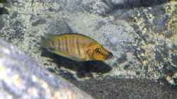 Altolamprologus compressiceps `Golden Head` Weibchen