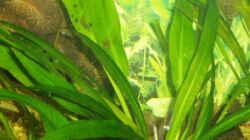 Die schöne Echinoduros bleheri