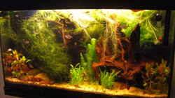 Aquarium Laetacara Domizil
