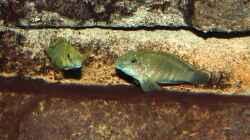Eretmodus cyanostictus (Moba)